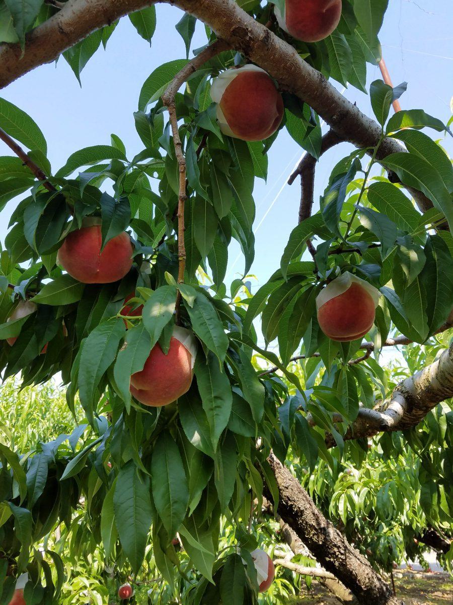順調に成長した桃